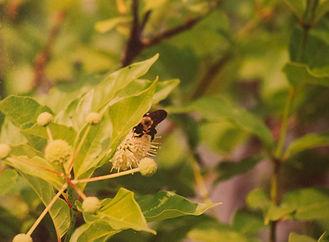 An eastern carpenter bee on polkweed flowers