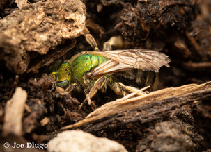 Agapostemon sp. (female) | digging nest burrow | USA, Washington, Tenino | 2018-08-07