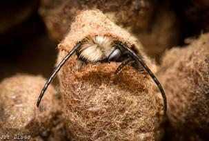 Osmia lignaria (male) chewing out of cocoon | USA, Washington, Tenino | 2020-03-19
