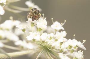 "Perdita sp. on Daucus carota ""Queen Anne's Lace"" | USA, Washington, Tenino | 2019-07-20"