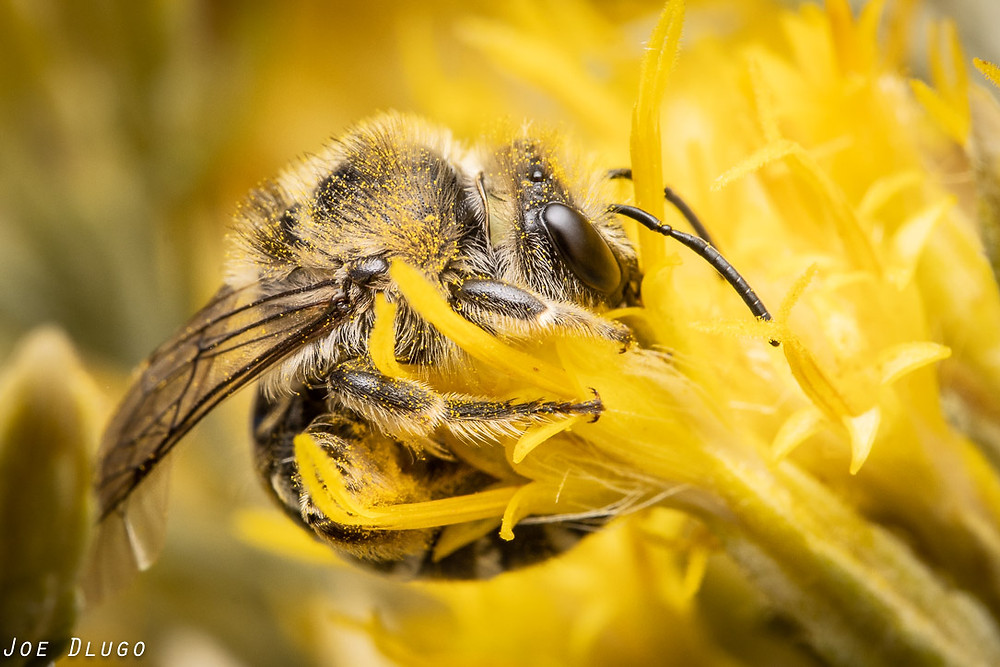A curled up plasterer bee dipping its head into the yellow tubular flowers of a rubber rabbitbrush