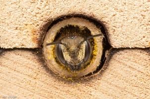 Megachile sp. (female) | USA, Washington, Tenino | 2020-07-27