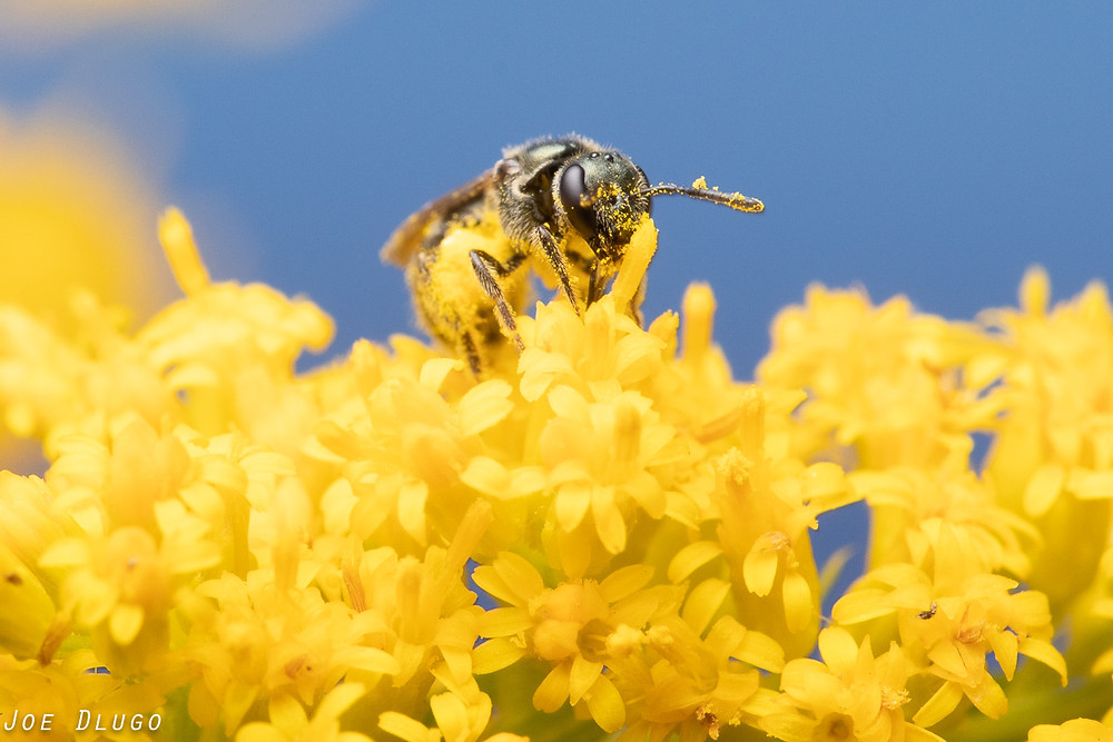 A tiny Dialictus bee visiting tall goldenrod, Solidago altissima on Belmont Prairie