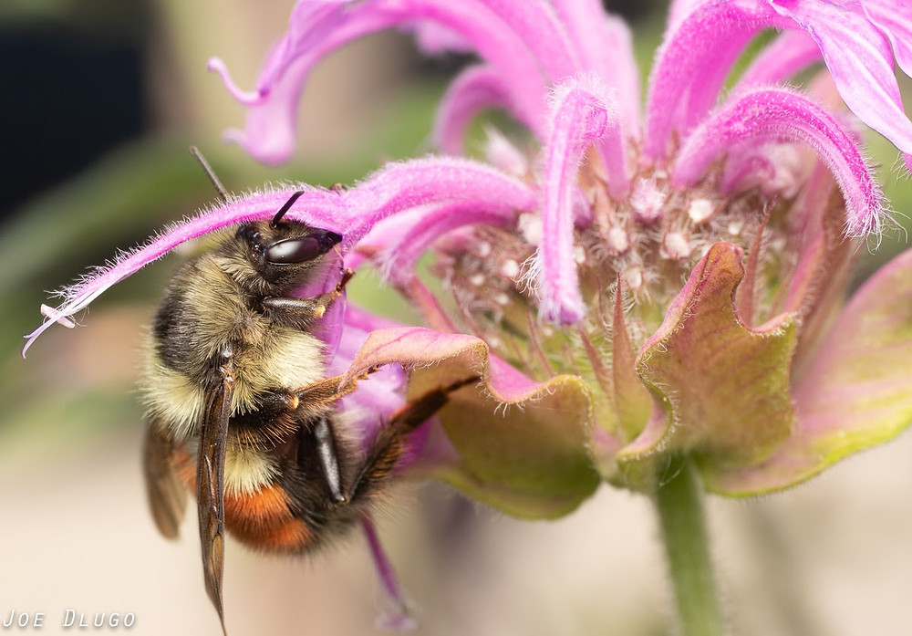 A large bumble bee with yellow, black and orange hair dips her head into the tubular pink blooms of a wild bergamot flower