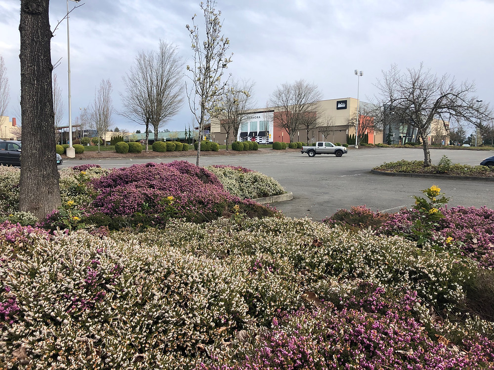 A large patch of pink and white winter heath is planted on an island in a mall parking lot. There are stores in the background.