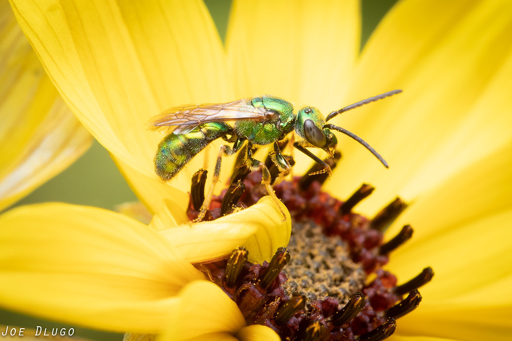 A shiny green jewel bee of the genus Augochlorella visiting the bright yellow bloom of a tall coreopsis, Coreopsis tripteris at Belmont Prairie Nature Preserve