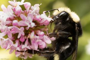 Bombus vosnesenskii (queen) on Plectritis congesta | USA, Washington, Tenino | 2020-11-01