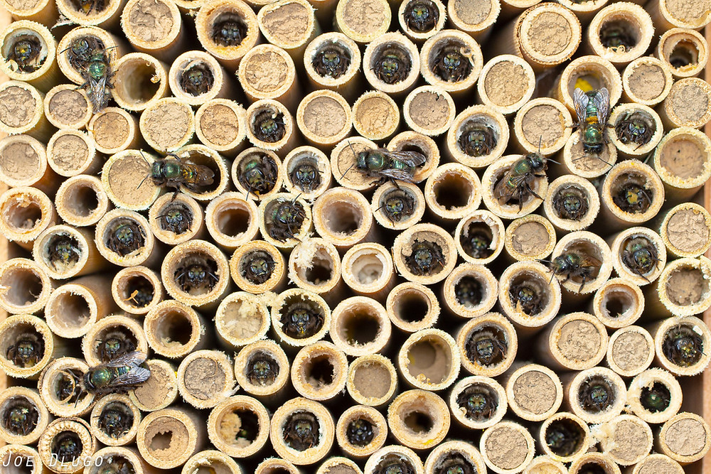A great many blue orchard bee females poking their head out of nest tubes as they get ready to start the day.