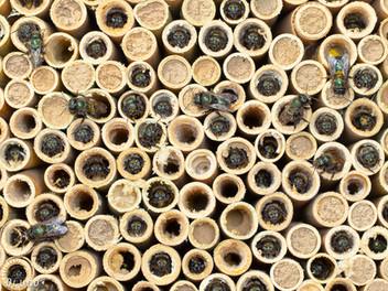 The Many Mason Bees of My Garden