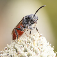 Sphecodes ~ Blood Bees