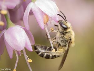 Colletes sp. on Allium cernuum/nodding onion   USA, Washington, Tenino   2020-07-17