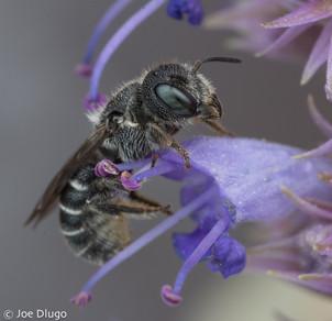 Heriades sp.   on Agastache foeniculum   USA, Washington, Tenino   2017-07