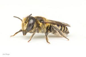 Megachile sp. (female) | USA, Washington, Tenino | 2020-07-22