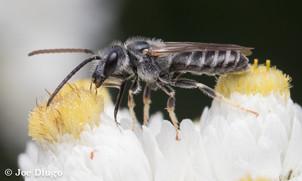 "Halictus sp. on Anaphalis margaritacea ""pearly everlasting"" | USA, Washington, Mount Rainier National Park | 2017-08-27"