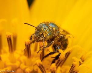 "Osmia sp. ""mason bee"" | on Balsamorhisza careyana ""Carey's balsamroot"" | USA, Washington, Naches (Windy Point Campground) | 2019-05-02"