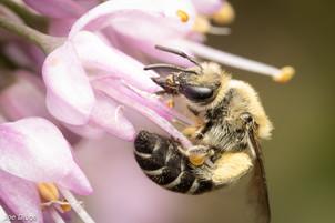Colletes sp. on Allium cernuum/nodding onion   USA, Washington, Tenion   2020-07-17
