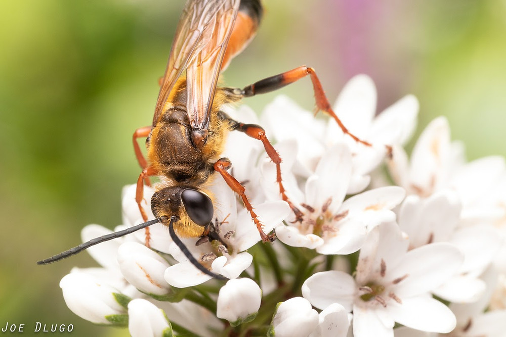 A very large orange and black wasp sips nectar from Lysimachia clethroides flowers