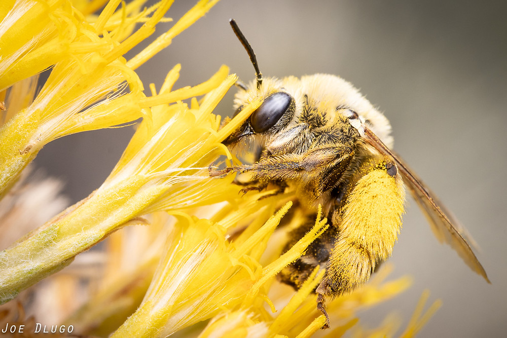 A large, chunky female long-horned bee with blue eyes, tawny hair, and large yellow pollen hairs on her hind legs