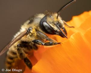 Megachile sp. on Eschscholzia californica (California Poppy) | USA, Washington, Tenino | 2018-09-30