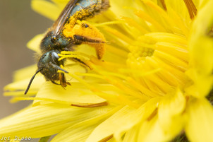 Andrena sp. on Microseris lacianata | USA, Washington, Tenino (Wolf Haven Prairie) | 2017-06-10