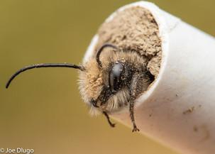 Osmia lignaria (male) emerging from paper straw | USA, Washington, Tenino | 2019-04-03