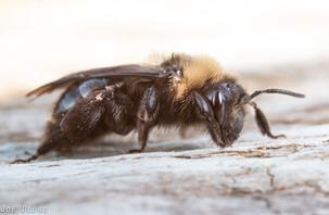 Andrena sp. | USA, Washington, Tenino | 2015-05-02