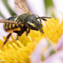 Dianthidium ~ Pebble Bees