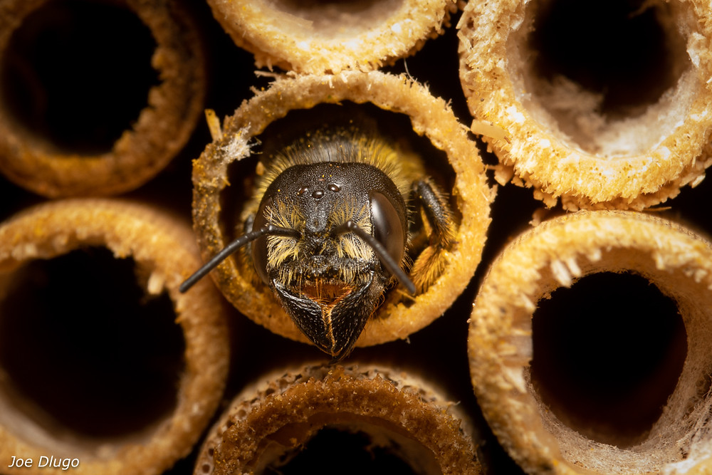 A female Megachile pugnata sticks her head out of the end of a bamboo tube next site surrounded by other empty tubes.