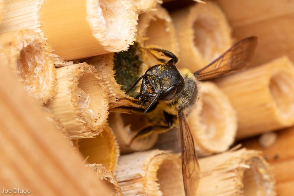 A female Megachile pugnata grasps her nest entrance as she caps it off.