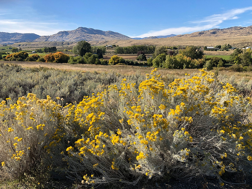 Two rubber rabbitbrush shrubs in bloom in a desert landscape with a farm in the distance