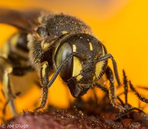 "Dianthidium sp. on Rudbeckia hirta ""black-eyed susan"" | USA, Washington, Tenino | 2016-08"