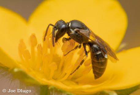 "Hylaeus sp. ""masked bee"" (female) | on Dasiphora fruticosa ""shrubby cinquefoil"" | USA, Illinois, Downers Grove | 2018-07-04"