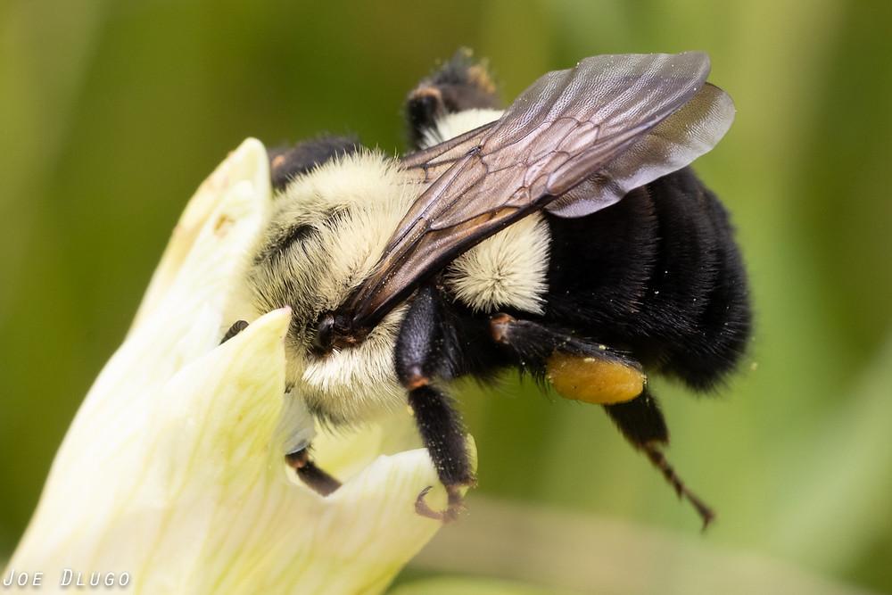 Common eastern bumble bee on cream gentian, Gentiana alba at Belmont Prairie