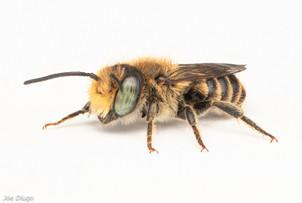 Megachile sp. (male) | USA, Washington, Tenino | 2020-0716