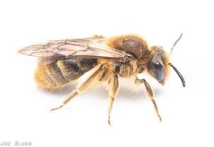 Andrena sp. | USA, Washington, Tenino | 2020-04-01