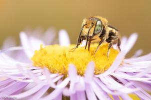 Megachile sp. (male) on Erigeron speciosus | USA, Washington, Tenino | 2020-07-16