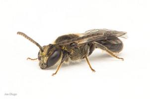 Lasioglossum sp. (male) | USA, Washington, Tenino | 2020-08-26