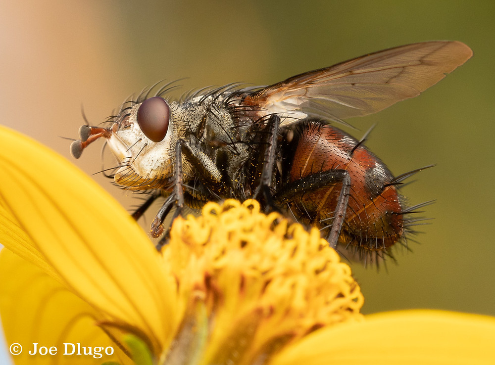 An intimidating looking fly with spiked hair, red abdomen, maroon eyes, and red antennae on a yellow Bidens flower.