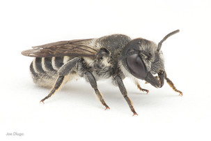 Megachile sp. (female) | USA, Washington, Tenino | 2020-07-31