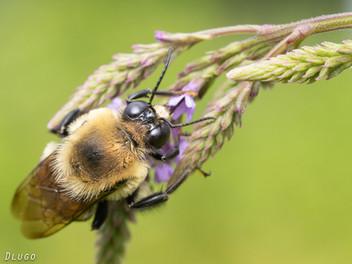 A Bee Safari at Bowman's Hill Wildflower Preserve, Pennsylvania