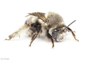 Anthophora sp. (female) | USA, Washington, Thurston County | 2021-04-21
