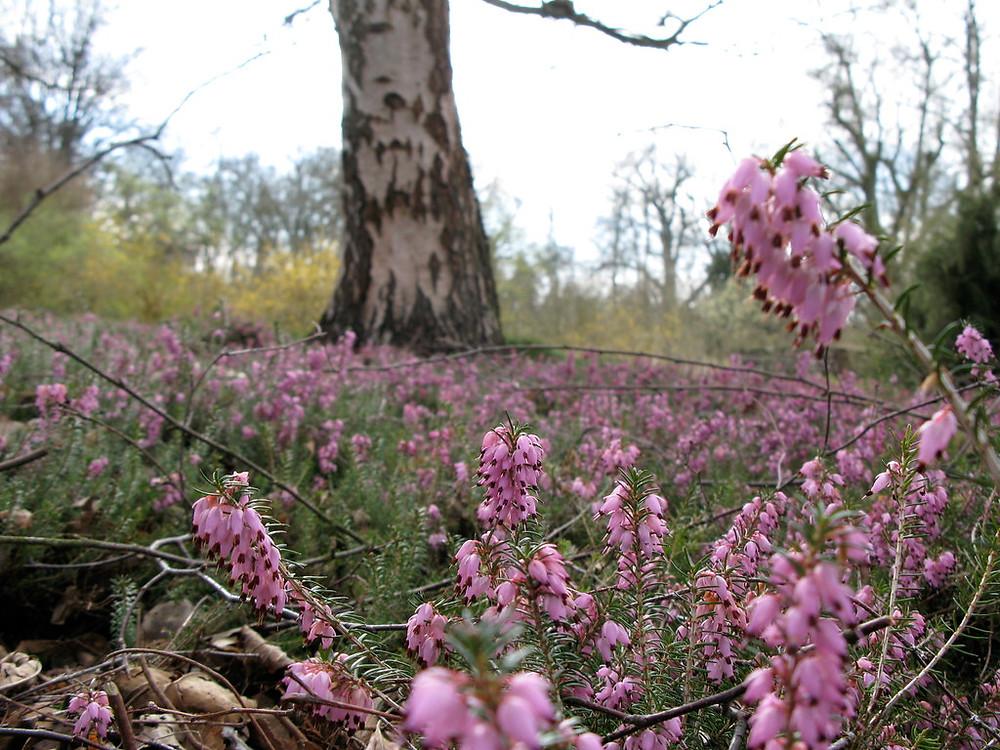 """Erica carnea, numerous pink flowers matting a forest flower. """"Schneeheide vor Birke"""" by Botanischer Garten TU Darmstadt is licensed under CC BY 2.0 CC BY"""