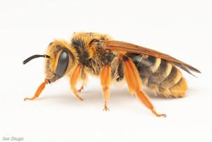 Andrena prunorum (female) | USA, Washington, Tenino | 2020-07-17