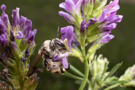 Alkali Bee - Nomia melanderi