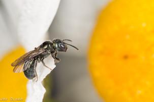Ceratina sp. on Leucanthemum vulgare | USA, Washington, Tenino | 2015-06-07