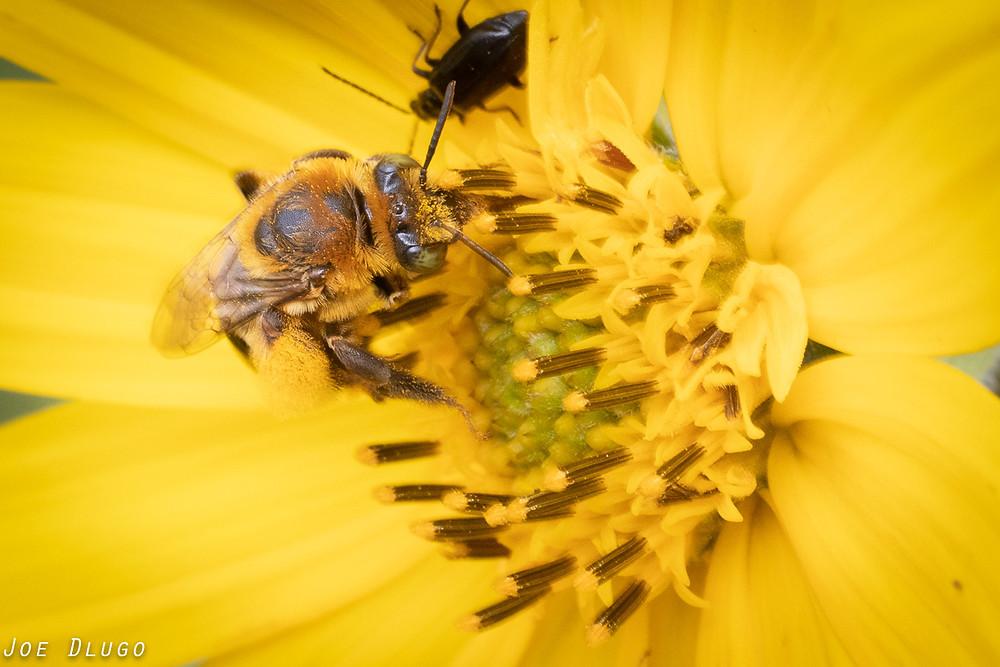 Melissodes long-horned bee on sawtooth sunflower Helianthus grosseserratus at Belmont Prairie