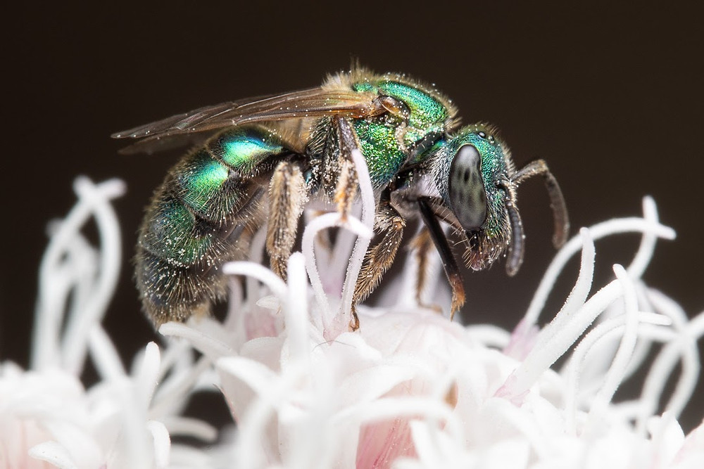 An iridescent green bee seen looking to the right while atop the flower cluster of shrubby boneset
