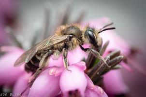 Andrena sp. on Erica carnea | USA, Washington, Tenino | 2020-03-10