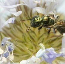 Ceratina ~ Small Carpenter Bees