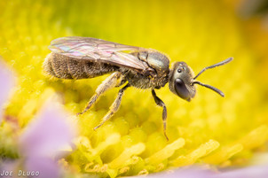 "Lasioglossum (Dialictus) sp. on Erigeron glaucus ""seaside daisy"" | USA, Washington, Tenino | 2019-10-05"